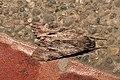 Lepidoptera (16045144020).jpg