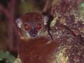 Lepilemur sahamalazensis d.PNG