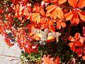 Leptir Macroglossum na Zlatiboru.jpg