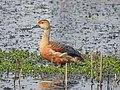 Lesser Whistling-Duck 01.jpg