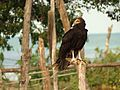 Lesser Yellow-headed Vulture - Flickr - treegrow (1).jpg
