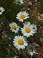 Leucanthemum vulgare jfg.jpg