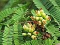 Libidibia coriaria - Divi-divi Tree - Caesalpinia coriaria - WikiSangamotsavam 2018, Kottappuram, Kodungalloor (11).jpg