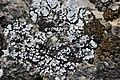 Lichen (29239660987).jpg