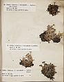 Lichenes Helvetici III IV 1842 013.jpg