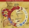 Life Cycle of the Malaria Parasite.jpg