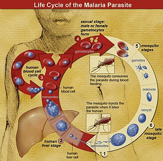 Plasmodium - The life cycle of malaria parasites. Parasites enter the vertebrate host through a mosquito bite. Sporozoites enter the skin and travel through the bloodstream to the liver, where they multiply into merozoites, which return to the bloodstream. Merozoites infect red blood cells, where they develop through several stages to produce either more merozoites, or gametocytes. Gametocytes are taken up by a mosquito and infect the insect, continuing the life cycle.