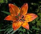 Lilium bulbiferum var. bulbiferum 01.JPG