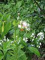 Lilium cf. ledebourei - Flickr - peganum (13).jpg