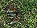 Limenitis populi - Poplar admiral - Ленточник тополёвый (26271589377).jpg