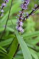 Liriope muscari - Fleurs.jpg