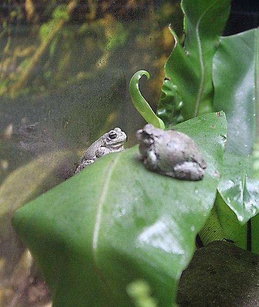 File:Lisbon, Oceanarium, gray tree frog.JPG