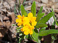 Lithospermum canescens Kaldari 01.jpg