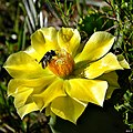 Lithurgus gibbosus on Pricklypear (6858284640).jpg