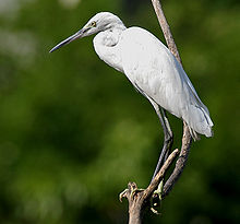 Little Egret (Egretta garzetta) in Hyderabad W IMG 8461.jpg