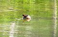 Little Grebe (3225389258).jpg