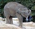 Little elephant (4990549723).jpg