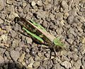 Locusta migratoria cinerascens. ^ Subfamily Oedipodinae - Flickr - gailhampshire.jpg