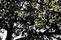Lodhi Garden Yellow Tree Flowers.jpg