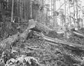 Logs waiting for removal, Pierce County, ca 1904 (INDOCC 1305).jpg