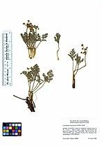 Lomatium mohavense (5901908576).jpg