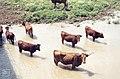 Longhorn Spanish cattle in river. Great and Little bustard plain. (37086642513).jpg