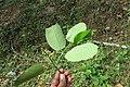 Lophopetalum wightianum flowers at Makutta (21).jpg