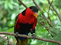 Lorius lory -perching on branch-8a.jpg