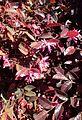 Loropetalum chinense 'Razzle Dazzle' kz3.jpg