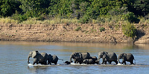 Loxodonta africana South Luangwa National Park (1).jpg