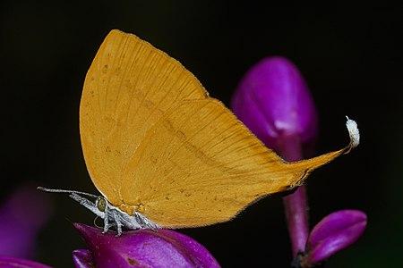 Loxura atymnus