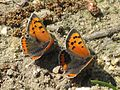 Lycaena phlaeas (Lycaenidae sp.), Nijmegen, the Netherlands.jpg