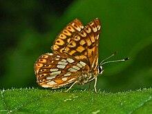 220px-Lycaenidae_-_Riodininae_-_Hamearis