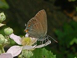 Lycaenidae - Satyrium ilicis.JPG