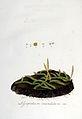 Lycopodium inundatum — Flora Batava — Volume v6.jpg