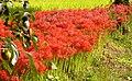 Lycoris radiata flowers in Shimoda, Shizuoka ヒガンバナ 下田市加増野 - panoramio.jpg