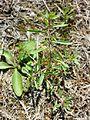 Lythrum tribracteatum sl4.jpg