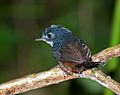 MACUQUINHO (Eleoscytalopus indigoticus).jpg