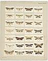 MA I437900 TePapa Plate-XXXIX-The-butterflies full.jpg