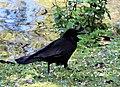 Ma - Corvus corone - 1.jpg