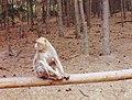 Macaque de Gibraltar (Macaca sylvanus) (11).jpg