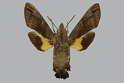 Macroglossum albigutta floridense, female, upperside. Papua New Guinea, Solomon Is., Bougainville.jpg