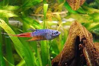 Paradise fish - Macropodus opercularis (♂) in a home aquarium
