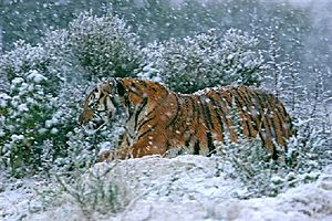 Laohu Valley Reserve - A South China tigress at Laohu Valley Reserve during the winter.