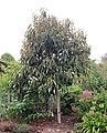 Magnolia doltsopa IMG 1958.jpg