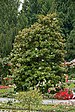 Magnolia grandiflora 001.jpg