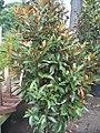 Magnolia grandiflora Alta 0zz.jpg