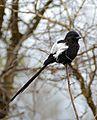 Magpie Shrike (Urolestes melanoleucus) (33154779691).jpg