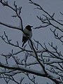 Magpie in snowy tree, Golders Hill Park NW11 - geograph.org.uk - 1651961.jpg