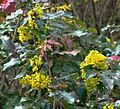Mahonia aquifolium 2, Kurpark, Brilon, Germany.jpg